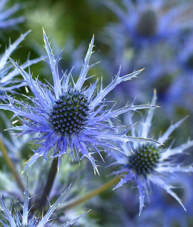 Flower, Plant, Thistle, Flora